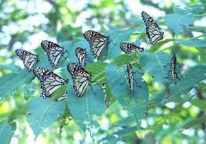 Monarch_butterflies