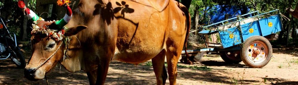 chantal cropped-cow01