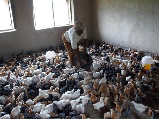 Kipsang Poultry-20160530153819