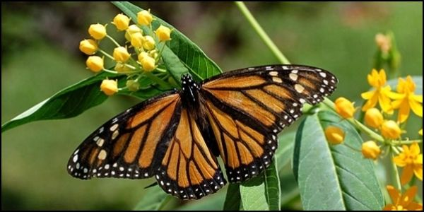 monarch yellow
