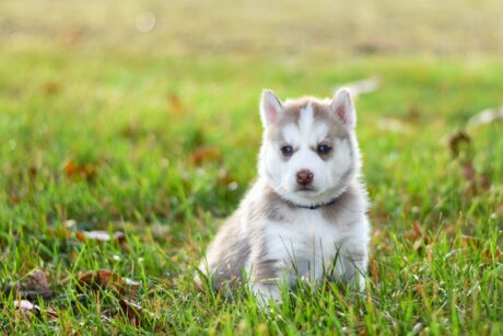 white and grey siberian husky puppy sitting on grass