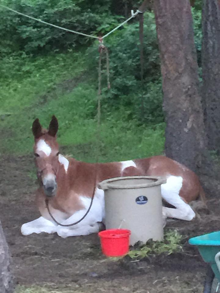 Carla Lange shared this pic of her mule on a high line