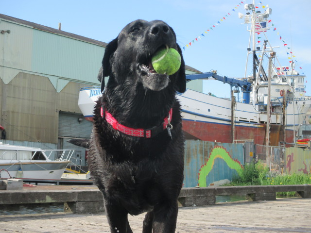 F/V Northwestern, On the ways in the Shipyard, Salty Dog Boating News - our official black lab 100 lb moscot - Nothing like a morning swim - and a belly flop off the dock for the fav. tennis ball! Top of the morning in the PNW!