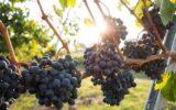 photo credit-grapes unsplash