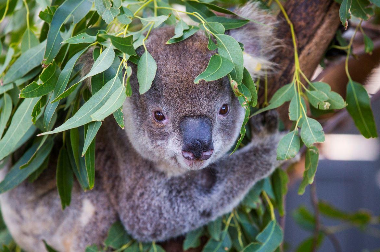 V1 Koala Hospital at Port Macquarie Credit Destination NSW