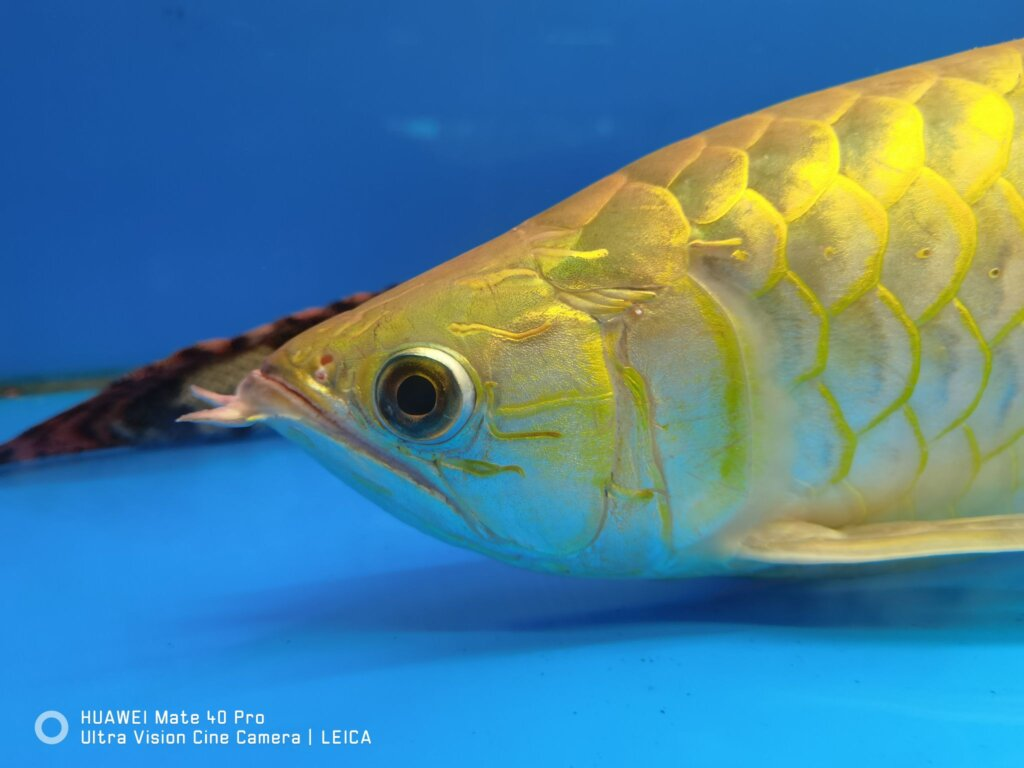 Huawei Mate 40 Pro review fish
