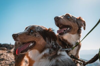 10 Popular Dog Breeds Australians Love