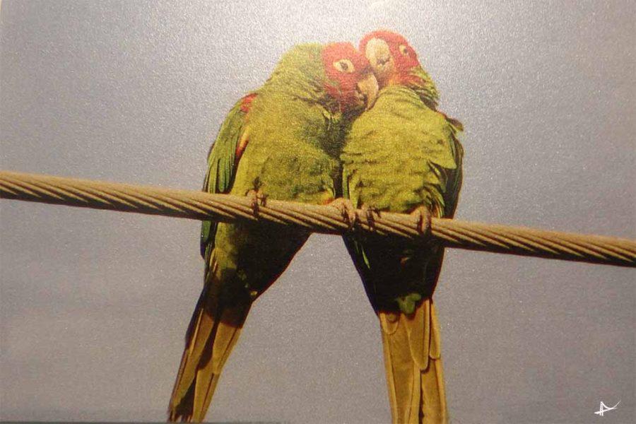 Os papagaios de Telegraph Hill