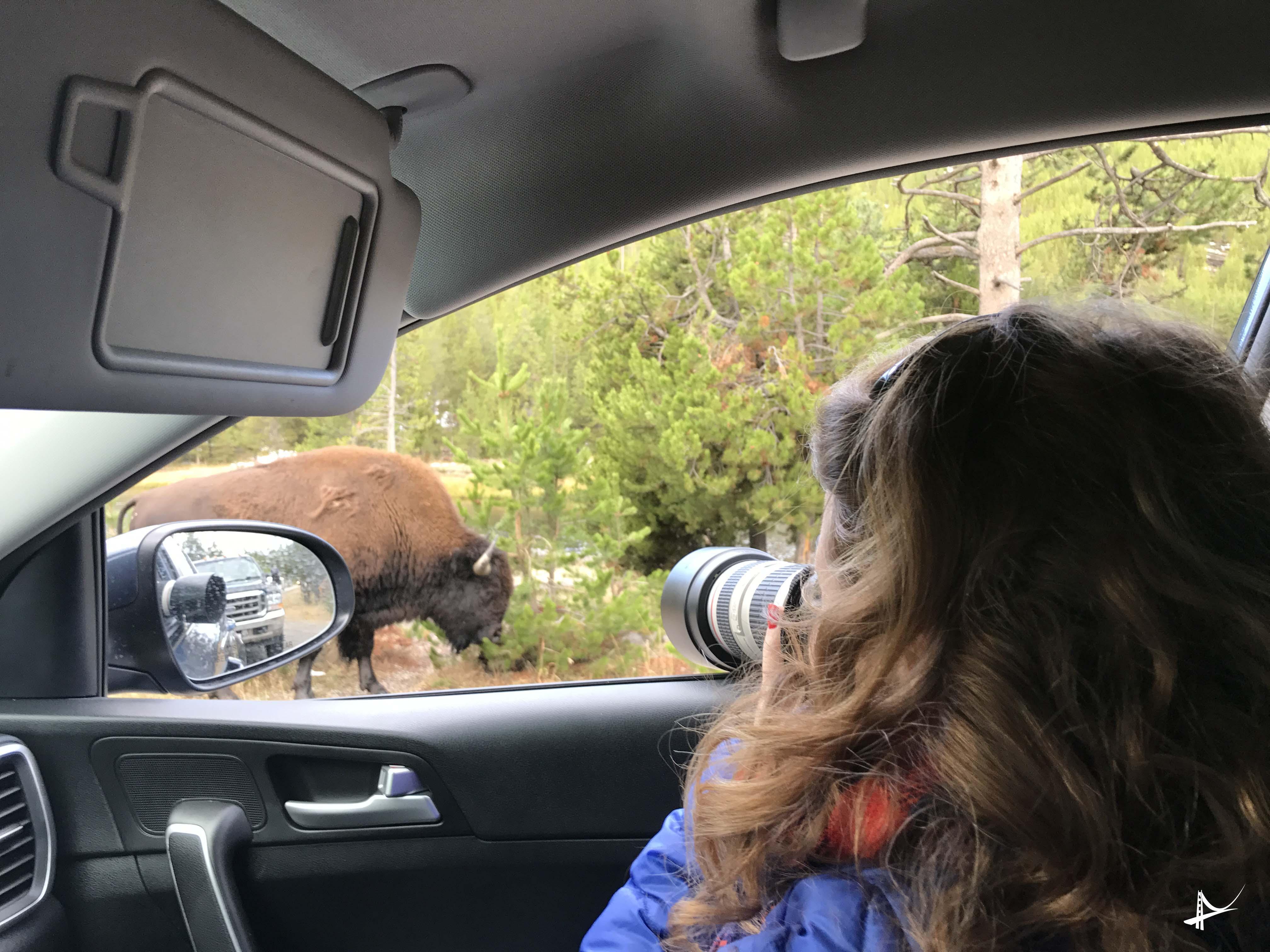 Bison no Yellowstone