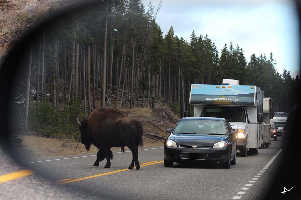 Bisons na estrada