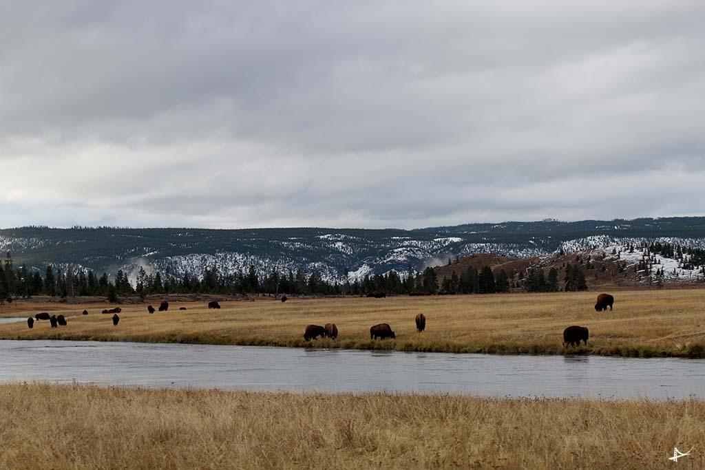 Bisons no Yellowstone