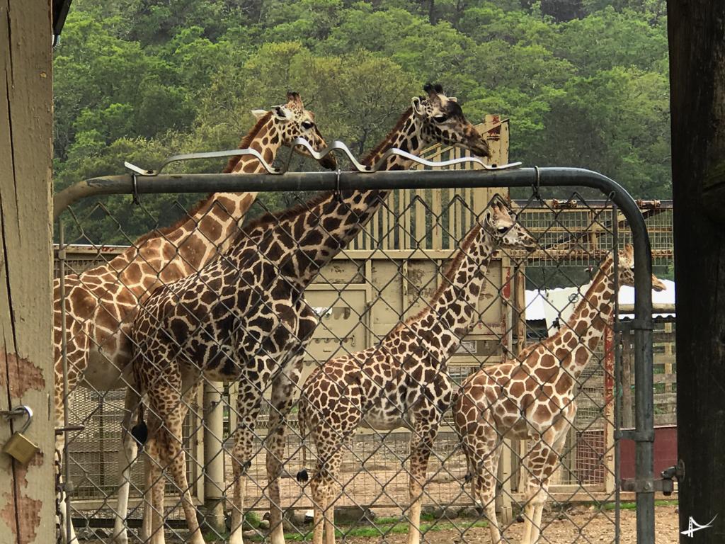 Girafas no West Safari