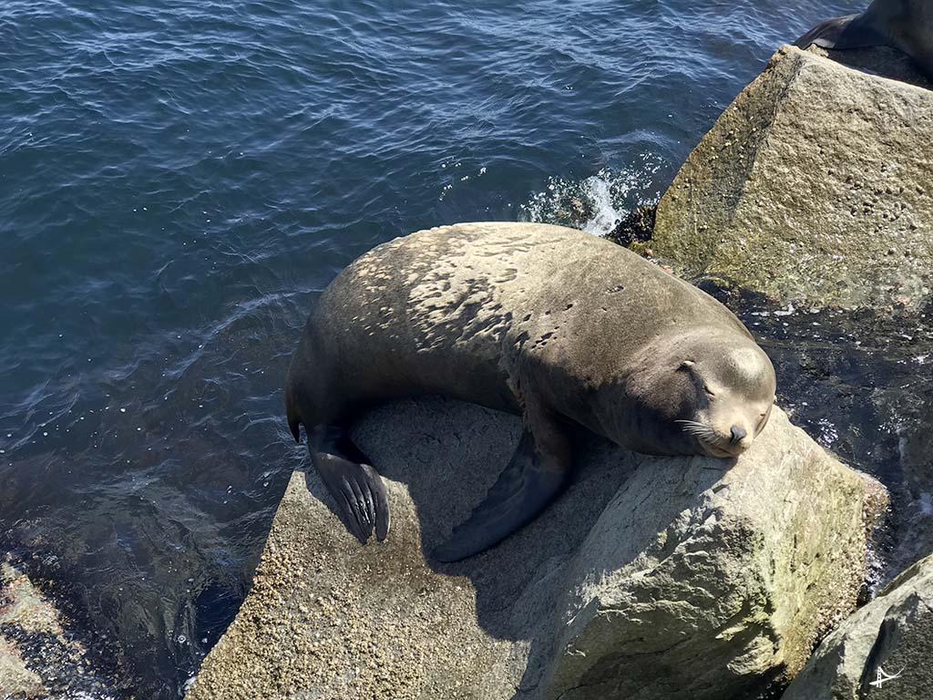 Leoes marinhos em Monterey