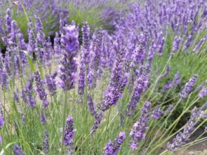 purple and green lavender in redmond east of seattle is calming and eases anxiety