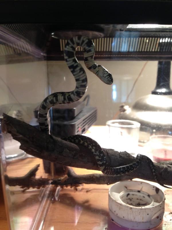 voldemort snake