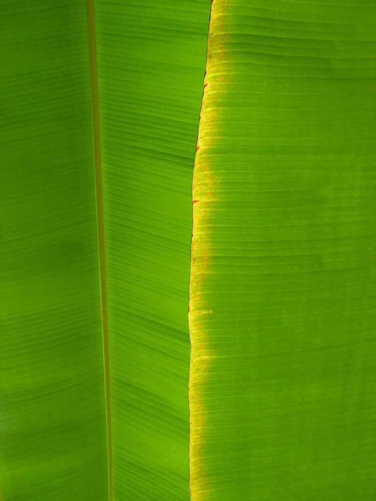 The banana green leaf on the boards to the wall