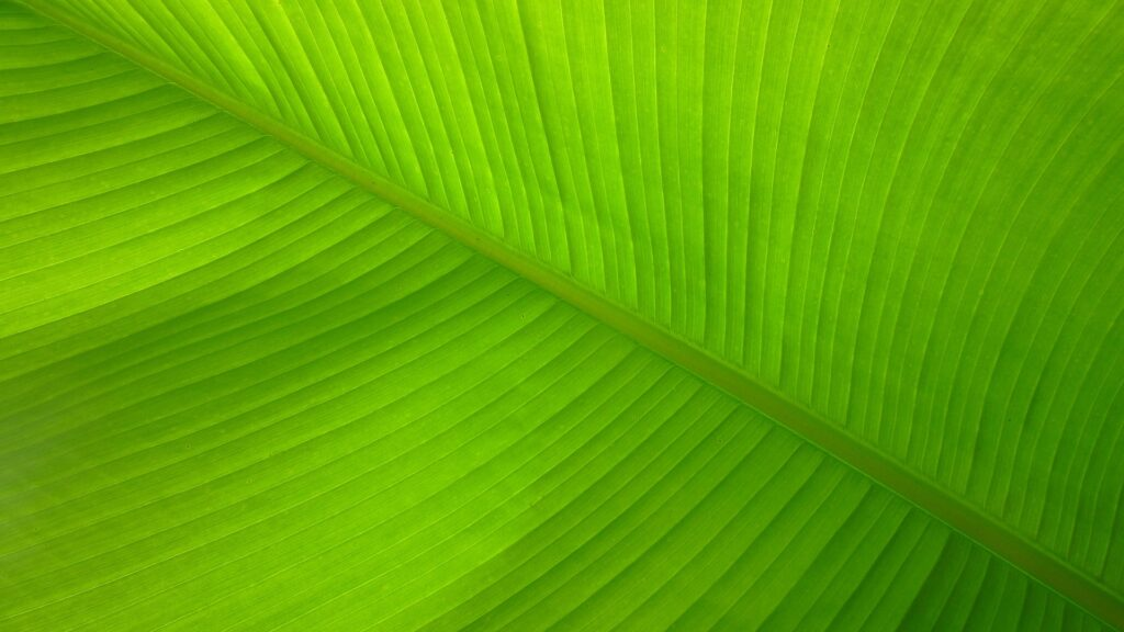 The banana green leaf for decoration
