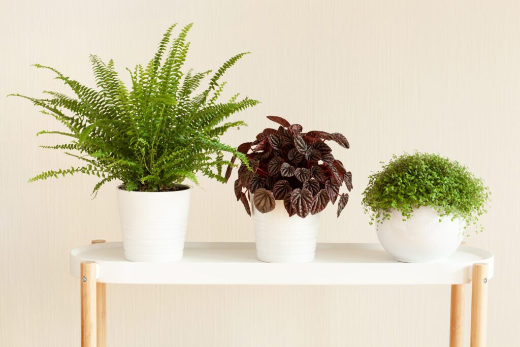 Clusters of plants look lovely! houseplants Nephrolepis, peperomia caperata, Soleirolia soleirolii in white flowerpots