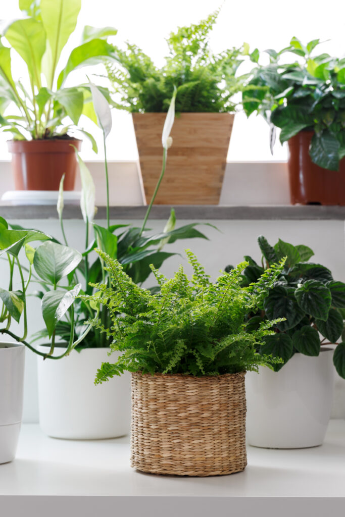 Tropical house plants in white pots on the table, peperomia, pothos, fettonia, asplenium and ivy
