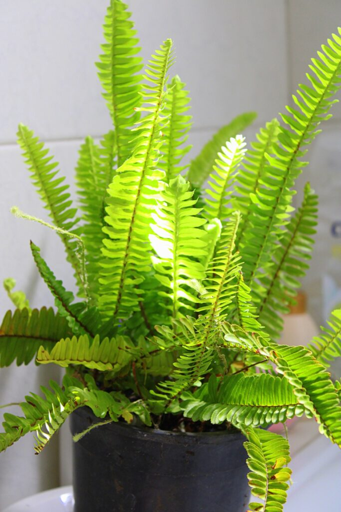 A list of trending houseplants - parent a boston fern and look fashionable in 2021 decor trend for Indian homes | Thekeybunch decor blog