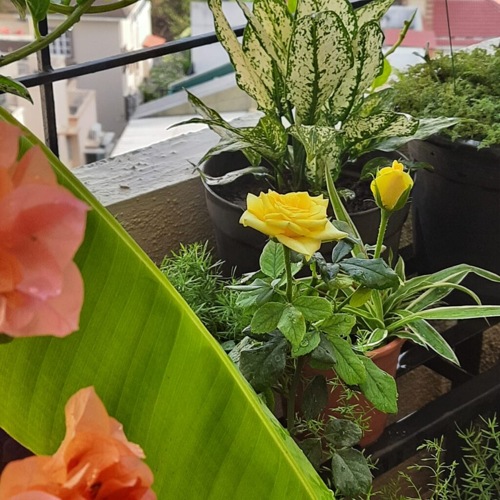 Decorate with a touch of yellow during the pandemic | Yellow flowers have super powers and yellow roses growing in garden