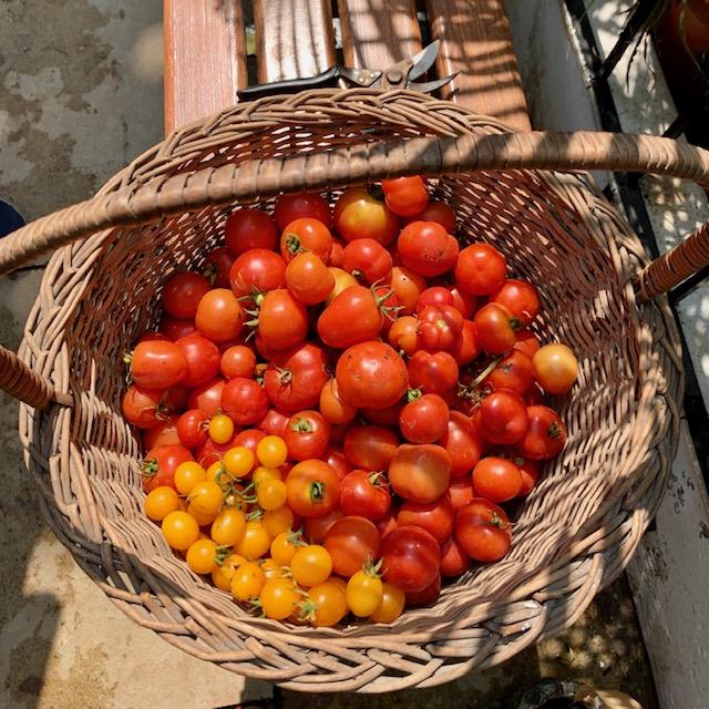 Villa Rashmi - A Heritage Gem in Mumbai   Fresh and healthy tomatoes from the garden   TheKeybunch decor blog