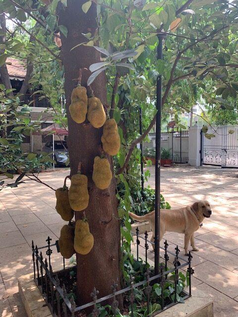 Villa Rashmi - A Heritage Gem in Mumbai   Jackfruit tree in the garden   TheKeybunch decor blog