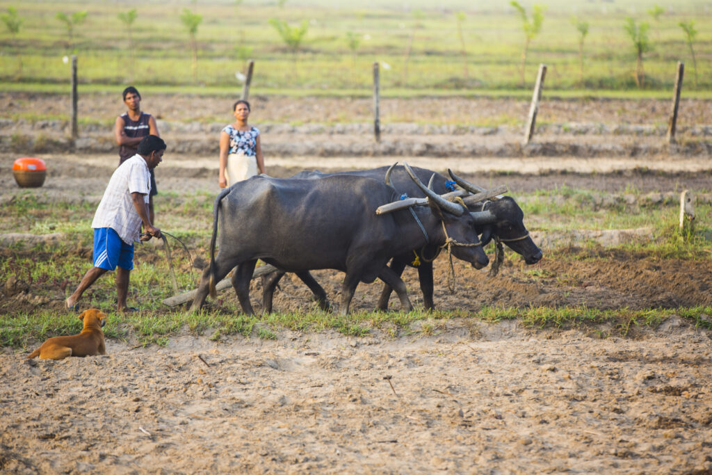 Betalbatim in Goa, India   The farmers plowing field with oxen plow   TheKeybunch decor blog