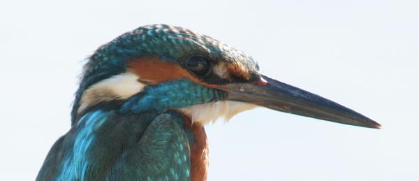 29-kingfisher-img_6354_1