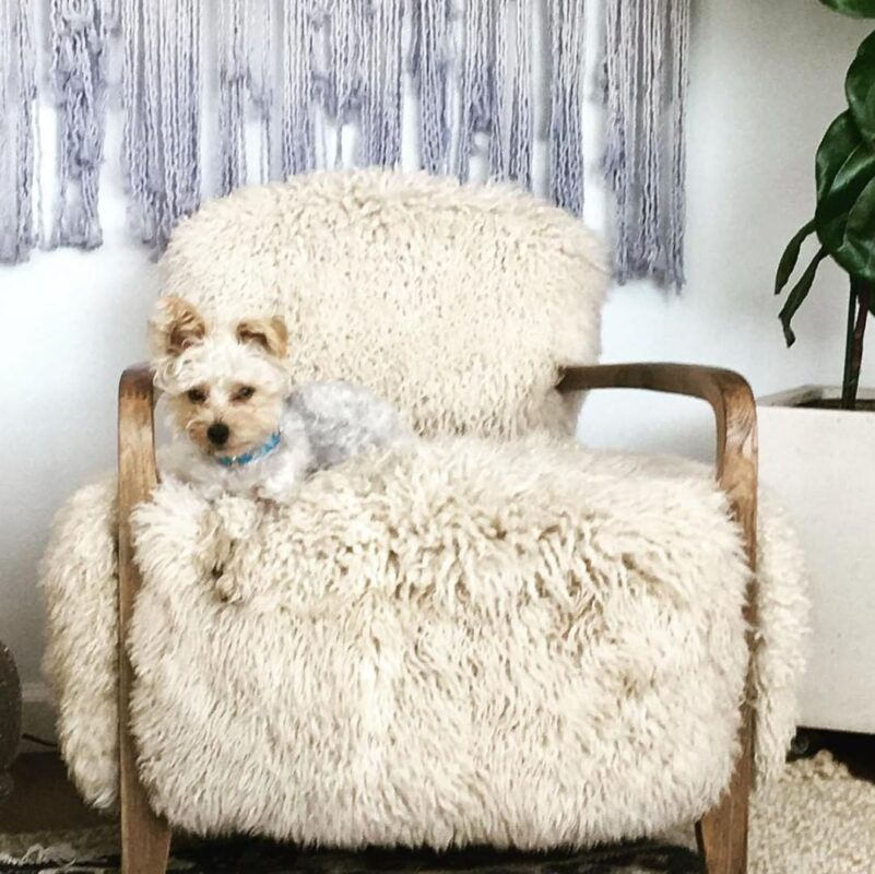 photo of charlie the dog on a fluffy chair