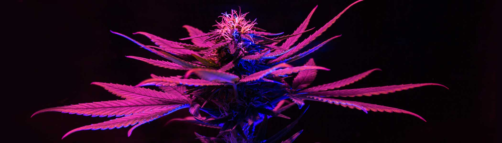 Marijuana plant under a grow light giving it a purple glow in the Cannabis Industry