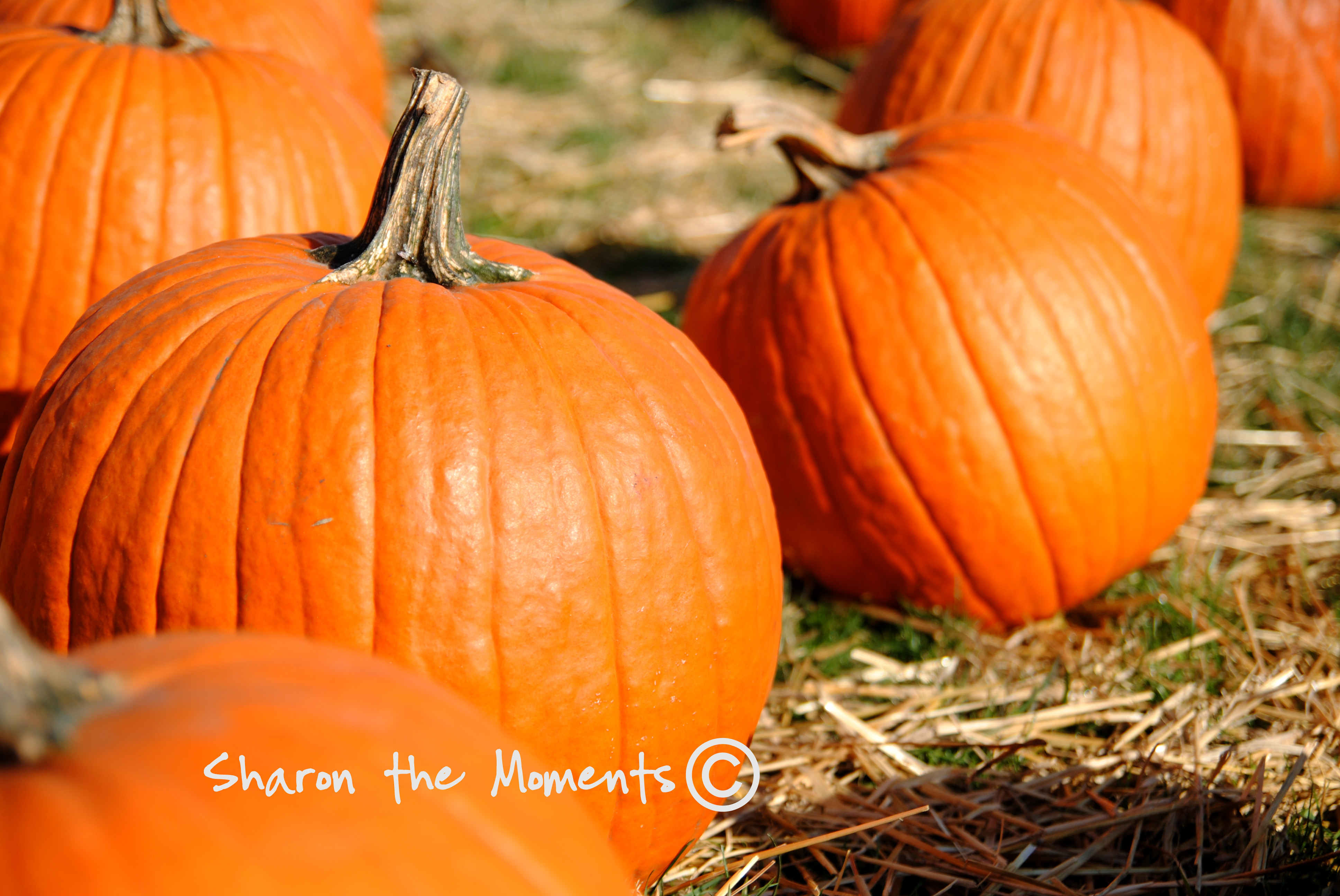 Pumpkins in the pumpkin patch|Sharon the Moments blog