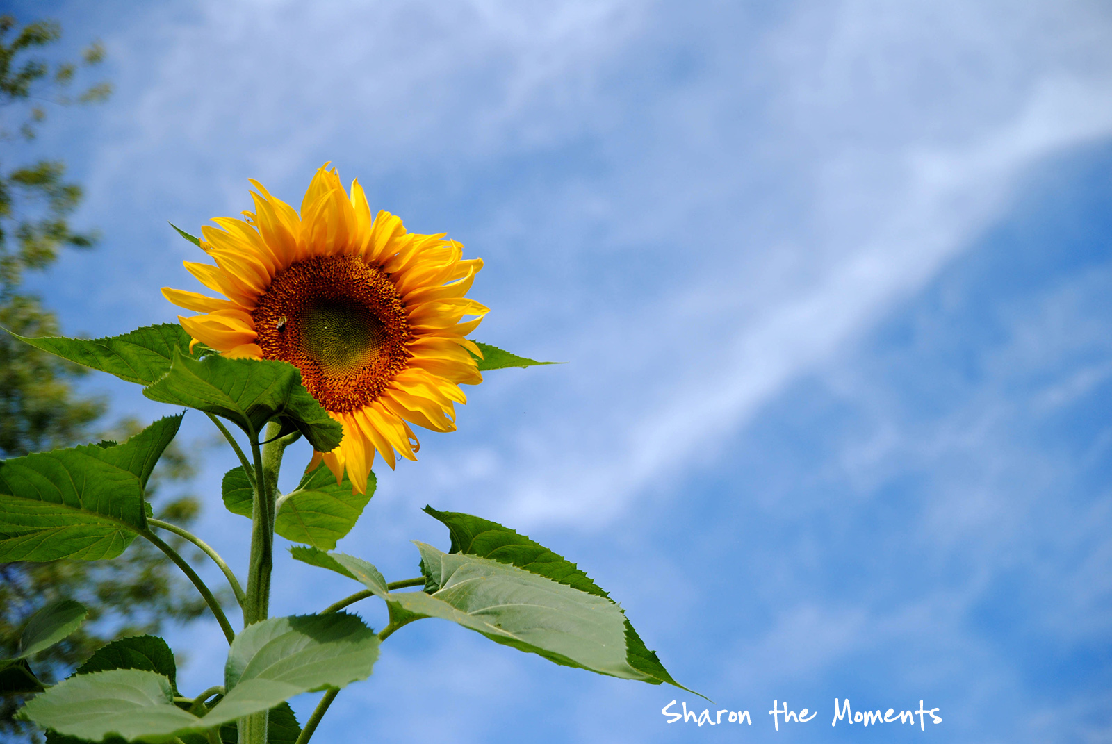Favorite Photo Friday Summer Sunflower|Sharon the Moments blog