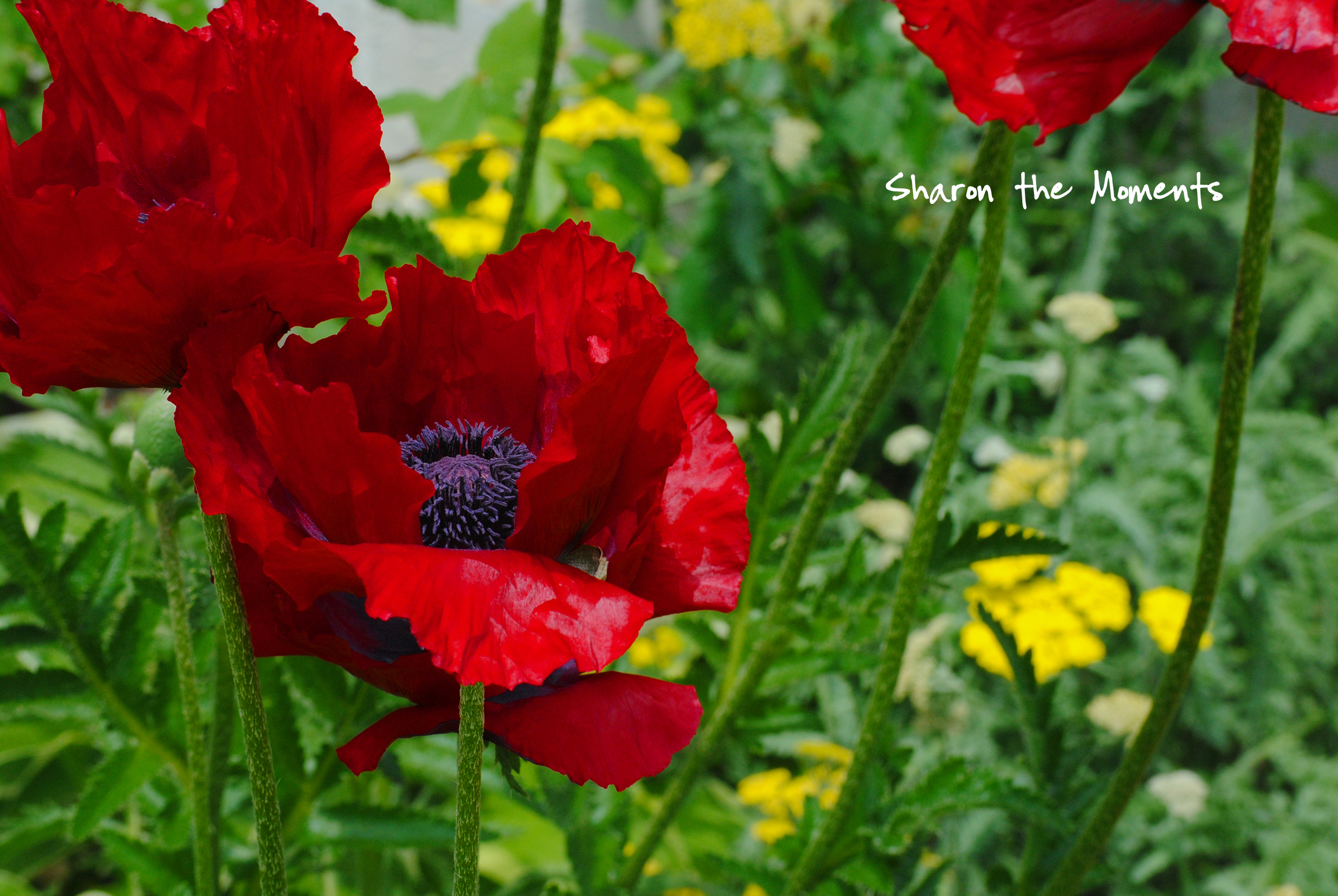 Favorite Photo Friday Eye Pleasing Red Poppies|Sharon the Moments blog