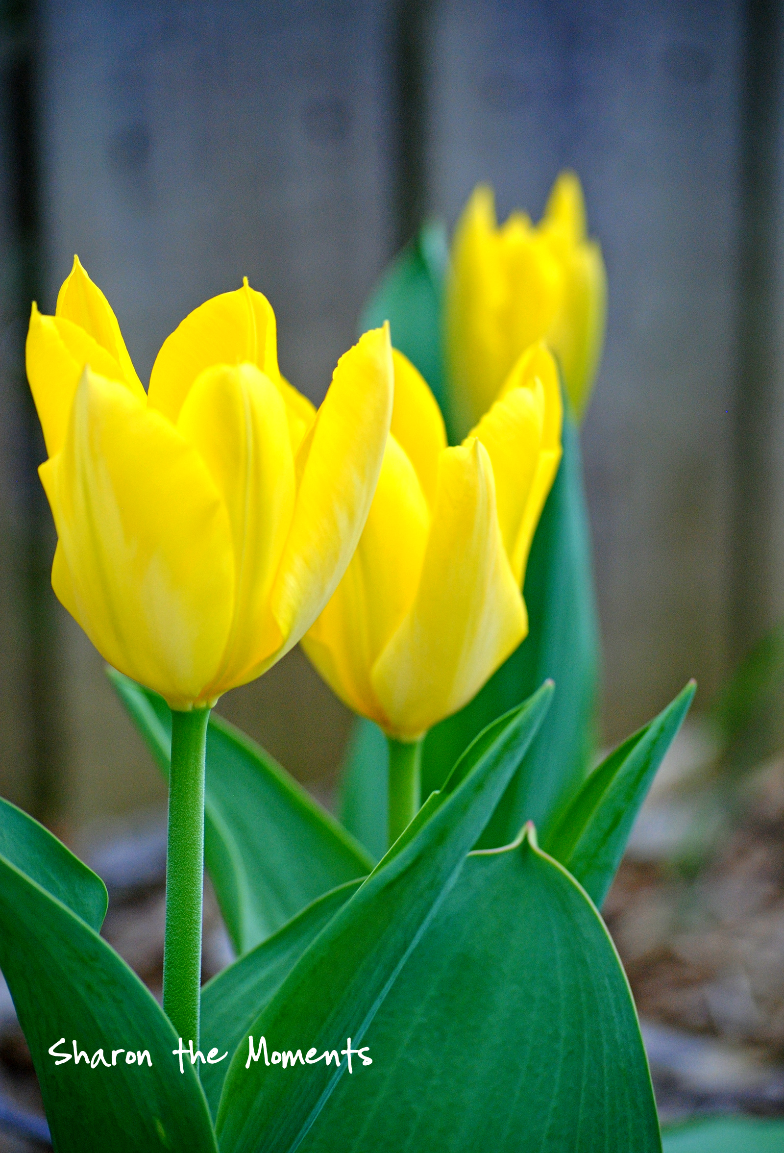 Hodgepodge Wednesday Spring Tulips|Sharon the Moments blog