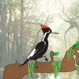 Ivory-Billed Woodpecker