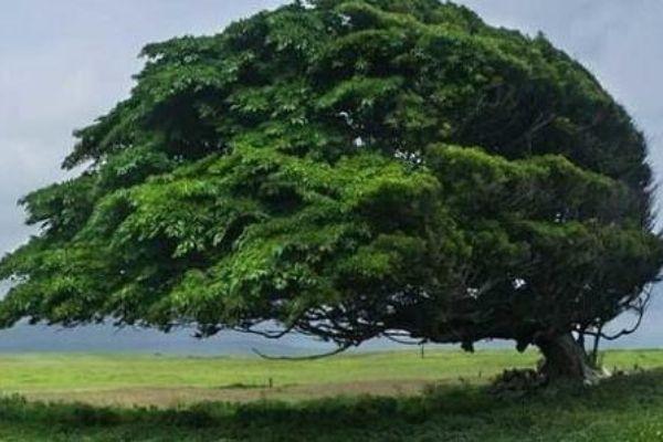 Distressed Tree