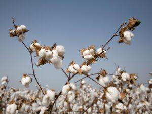 Cotton Healing Trauma