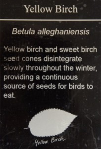 YellowBirch