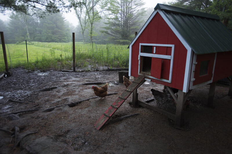 Chickens in the Mist