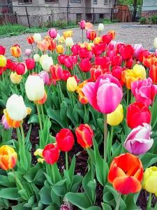 Tiptoe thru the Tulips