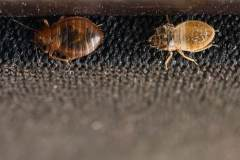 bed-bug-shedding-its-skin-picture