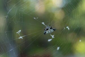 pest control, spiders