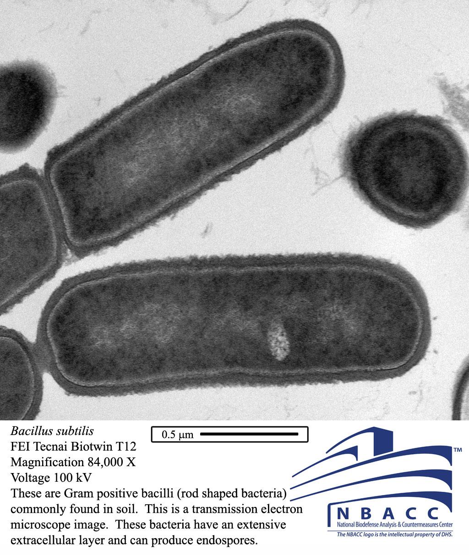 Microscopic view of Bacillus subtilis