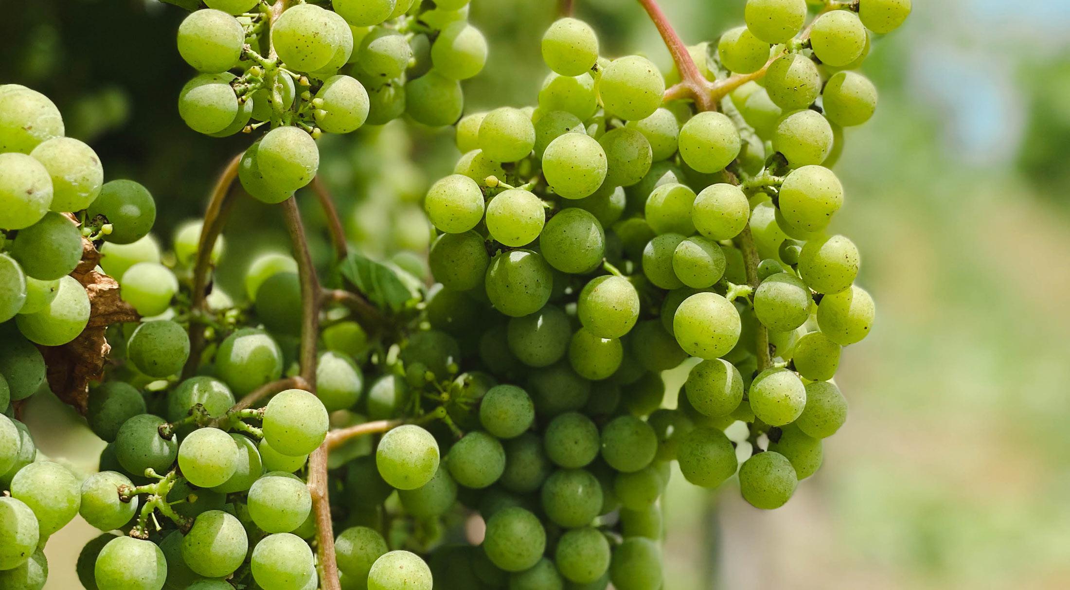 An Update from Winemaker, Ashton Lough: August 2021
