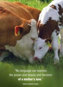 cow loving calf