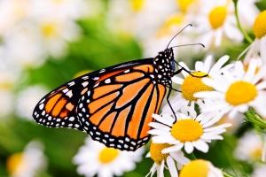 Monarch on daisy
