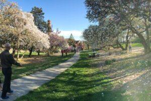 People walking past blooming Magnolia trees