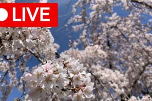 """A """"live"""" broadcast button over flowering branches"""