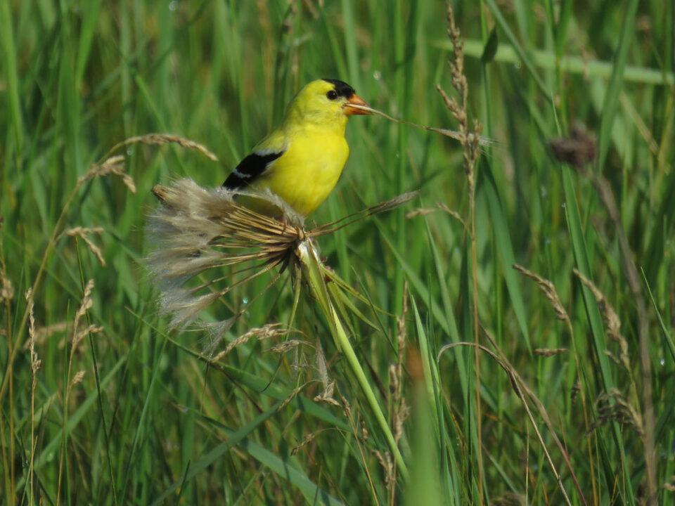 Am Goldfinch m 2020 6-28